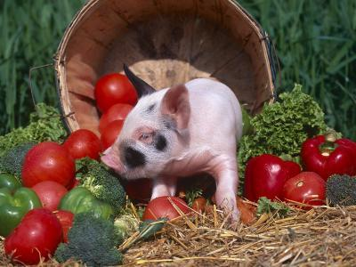 Domestic Piglet, Amongst Vegetables, USA-Lynn M^ Stone-Photographic Print
