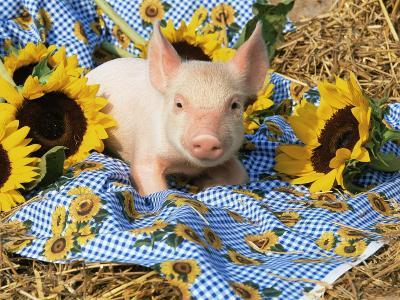 Domestic Piglet and Sunflowers, USA-Lynn M^ Stone-Photographic Print