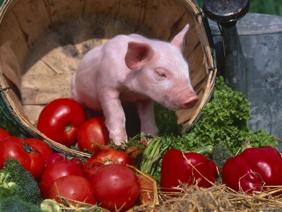 Domestic Piglet, in Bucket with Apples, Mixed Breed, USA-Lynn M^ Stone-Photographic Print