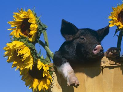 Domestic Piglet in Bucket with Sunflowers, USA-Lynn M^ Stone-Photographic Print