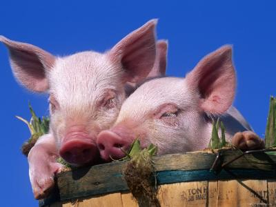 Domestic Piglets, in Bucket, USA-Lynn M^ Stone-Photographic Print