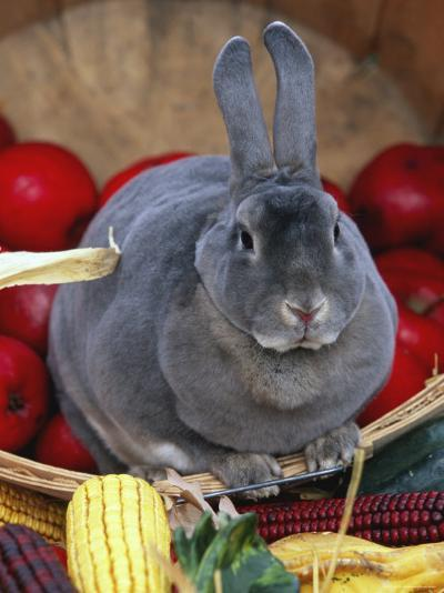 Domestic Rabbit, Mini Rex Breed-Lynn M^ Stone-Photographic Print
