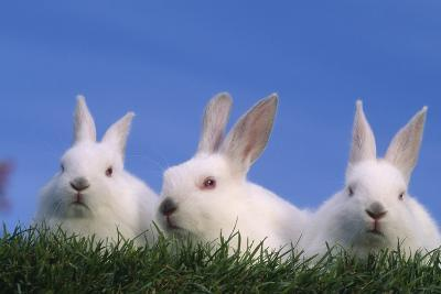 Domestic Rabbits in Grass-DLILLC-Photographic Print
