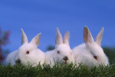 Domestic Rabbits in Grass-DLILLC-Photographic Print