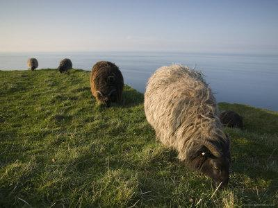 https://imgc.artprintimages.com/img/print/domestic-sheep-heligoland-germany_u-l-p1pq0i0.jpg?p=0