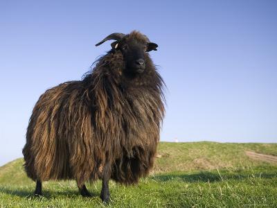 Domestic Sheep, Heligoland, Germany-Thorsten Milse-Photographic Print