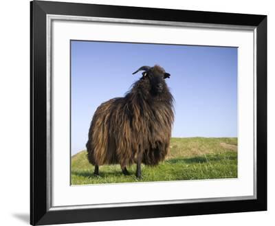 Domestic Sheep, Heligoland, Germany-Thorsten Milse-Framed Photographic Print