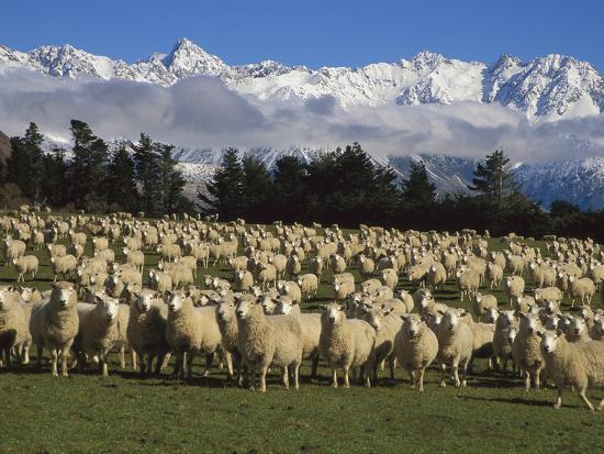 Domestic Sheep (Ovis Aries) in the Southern Alps, Rakaia River Valley, Canterbury, New Zealand-Colin Monteath/Minden Pictures-Photographic Print
