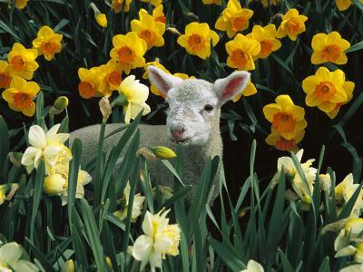 Domestic Sheep (Ovis Aries) Lamb Among Spring Daffodils (Narcissus Sp) Canterbury, New Zealand-Colin Monteath/Minden Pictures-Photographic Print