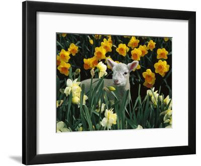 Domestic Sheep (Ovis Aries) Lamb Among Spring Daffodils (Narcissus Sp) Canterbury, New Zealand-Colin Monteath/Minden Pictures-Framed Photographic Print