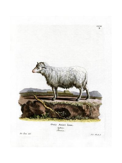 Domestic Sheep--Giclee Print