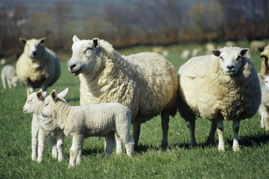Domestic Sheep-David Aubrey-Photographic Print