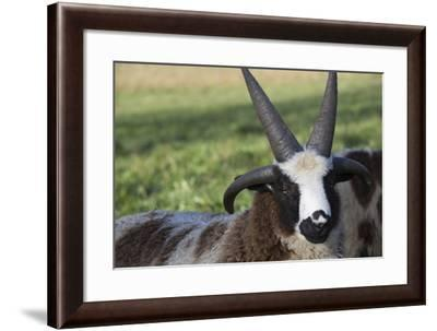 Domestic Sheep--Framed Photographic Print