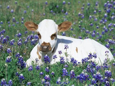 Domestic Texas Longhorn Calf, in Lupin Meadow, Texas, USA-Lynn M^ Stone-Photographic Print