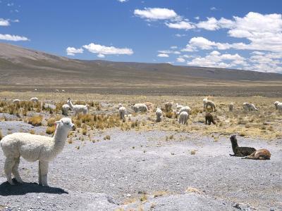 Domesticated Alpacas Grazing on Altiplano, Near Arequipa, Peru, South America-Tony Waltham-Photographic Print