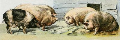 Domesticated Pigs--Giclee Print