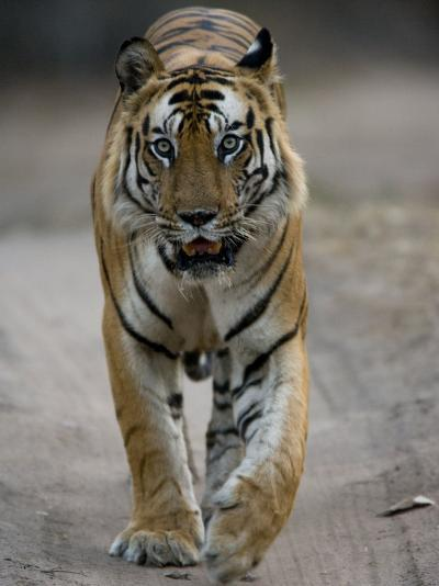 Dominant Male Indian Tiger, Bandhavgarh National Park, Madhya Pradesh State, India-Milse Thorsten-Photographic Print