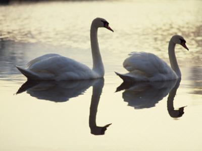 Two Swans on Water at Dusk, Dorset, England, United Kingdom, Europe by Dominic Harcourt-webster
