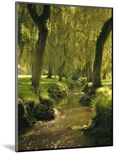Willow Trees by Forest Stream, New Forest, Hampshire, England, UK, Europe by Dominic Webster