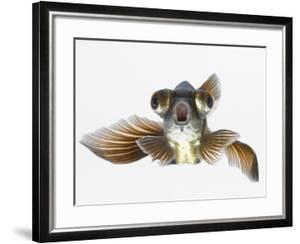 Black Moor Goldfish (Carassius Auratus) by Don Farrall