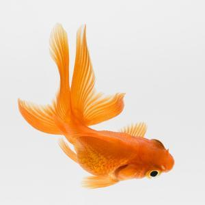 Fantail Goldfish (Carassius Auratus), Elevated View by Don Farrall
