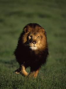 African Lion Walking in Grass by Don Grall