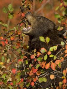 American Black Bear (Ursus Americanus) Cinnamon Phase Foraging for Hawthorn Berries by Don Grall