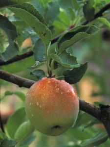 An Apple in the Ripening Stage Near Harvest Time by Don Grall