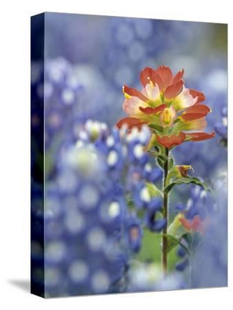 An Indian Paintbrush, Castilleja, Rises Up Amidst a Sea of Texas Bluebonnets, Lupinus Texensis