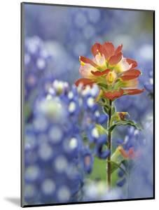 An Indian Paintbrush, Castilleja, Rises Up Amidst a Sea of Texas Bluebonnets, Lupinus Texensis by Don Grall