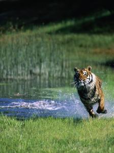 Bengal Tiger Running Out of the Water by Don Grall