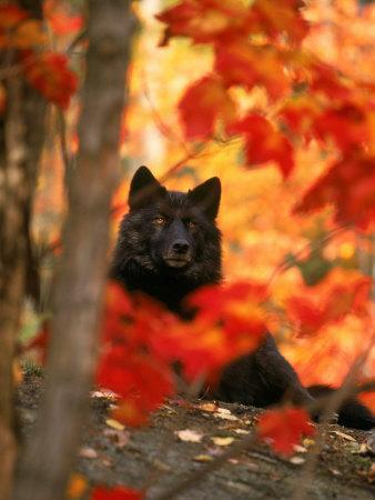 Black Timber Wolf Behind Autumn Foliage