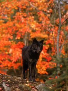 Black Timber Wolf in Autumn Forest by Don Grall