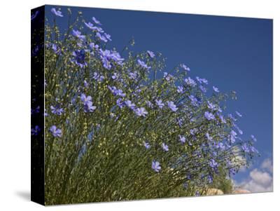 Blue Flax (Adenolinum Lewisii) Against a Blue Sky, Colorado, USA