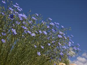 Blue Flax (Adenolinum Lewisii) Against a Blue Sky, Colorado, USA by Don Grall