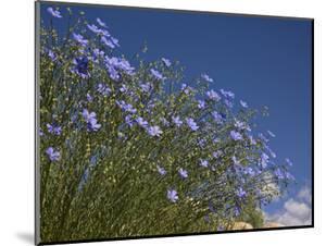 Blue Flax (Adenolinum Lewisii) Against a Blue Sky, Colorado, USA by Don Grall