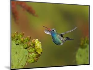 Broad-Billed Hummingbird (Cynanthus Latirostris) Approaching a Prickly Pear Cactus Bloom by Don Grall