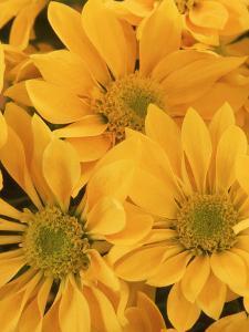 Chrysanthemum Flower Head by Don Grall