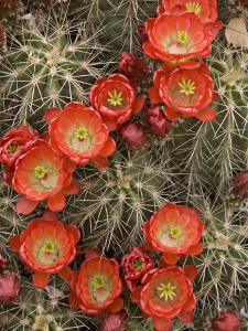 Claret Cup Cactus (Echinocereus Triglochidiatus) Blooming by Don Grall