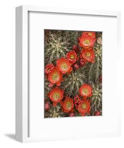Claret Cup Cactus (Echinocereus Triglochidiatus) Blooming by Don Grall