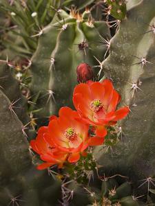 Claret Cup Cactus Flower (Echinocereus Triglochidiatus), Sonoran Desert, Arizona, USA by Don Grall