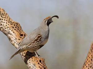 Gambel's Quail (Callipepla Gambelii) Male Perched on a Dead Cholla Cactus Stem, Sonoran Desert, USA by Don Grall