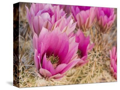Hedgehog Cactus (Echinocereus Engelmannii) Flowers, Organ Pipe National Monument, Arizona, USA