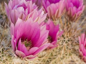 Hedgehog Cactus (Echinocereus Engelmannii) Flowers, Organ Pipe National Monument, Arizona, USA by Don Grall