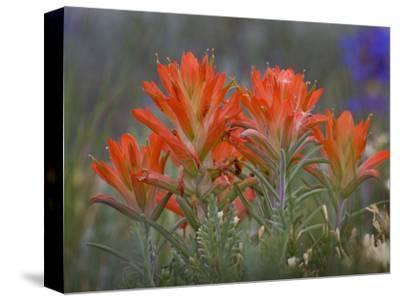 Indian Paintbrush (Castilleja), Sangre De Cristo Mountains, Colorado, USA
