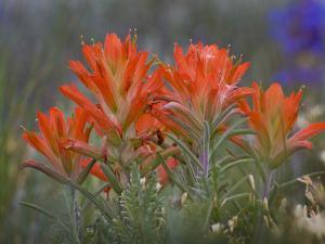 Indian Paintbrush (Castilleja), Sangre De Cristo Mountains, Colorado, USA by Don Grall