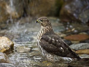 Juvenile Cooper's Hawk (Accipiter Cooperii) Bathing in a Backyard Pool During a Light Rainfall by Don Grall