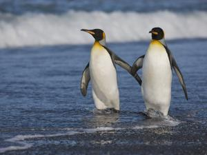 King Penguins (Aptenodytes Patagonicus) Walking Along the Beach, Salisbury Plain, South Georgia by Don Grall