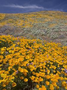 Mexican Poppy (Eschscholzia Mexicana), Sonoran Desert, Arizona, USA by Don Grall