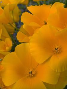 Mexican Poppy Flowers (Eschscholzia Mexicana), Sonoran Desert, Arizona, USA by Don Grall